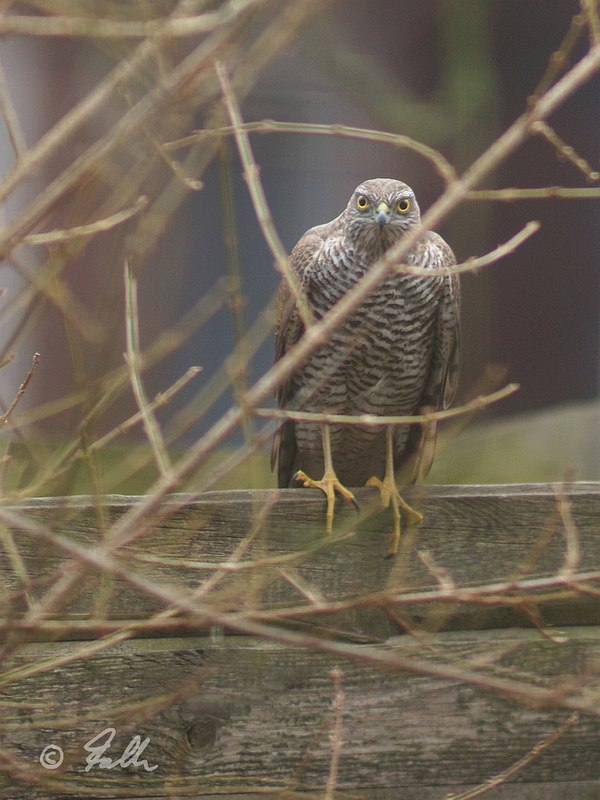 Accipiter nisus, female   © Falk 2017
