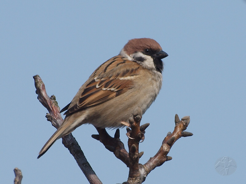 Sparrows, Finches, Trushes