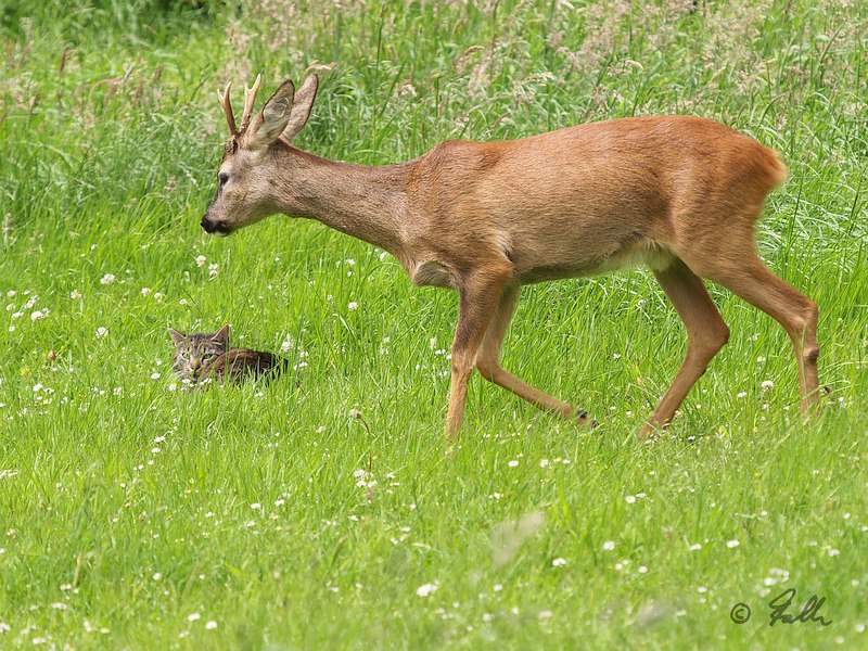 Roe Deer and domestic Cat   © Falk 2017